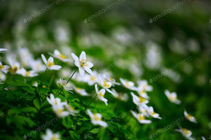 White anemone flowers growing in the wild in a forest in spring