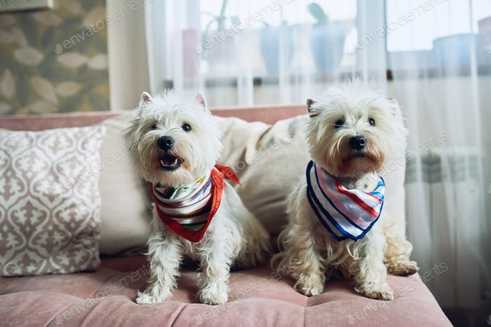 Two White Terrier, West highland dogs sitting on the sofa at home