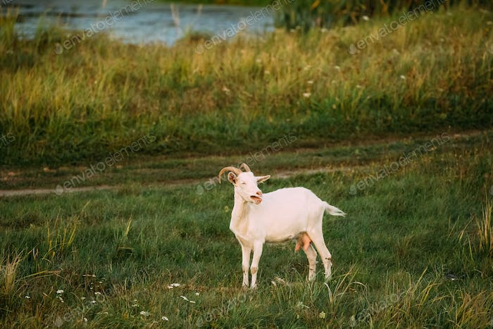 Farm Goat Grazes On Green Summer Grass On A Sunny Evening. Goat