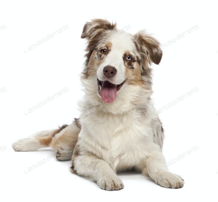 Australian Shepherd puppy, 6 months old, portrait against white background