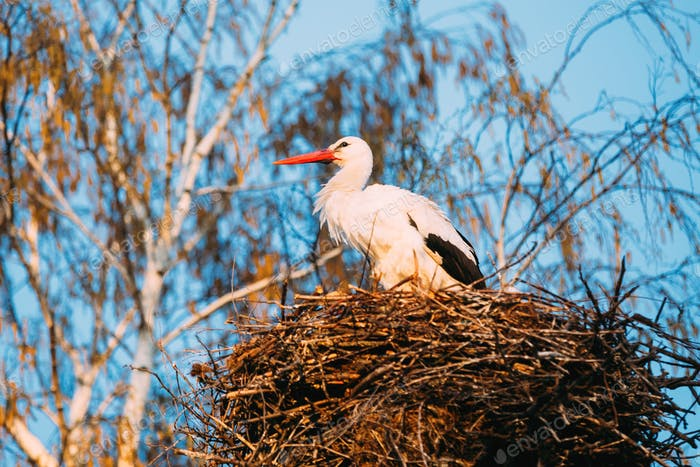 Adult European White Stork Standing In Nest Near Bare Spring Bir