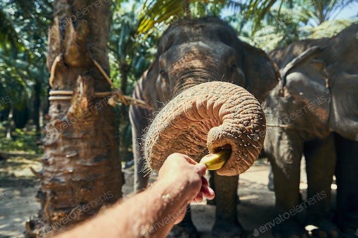 Mann gibt Bananen an einen asiatischen Elefanten in einem Heiligtum