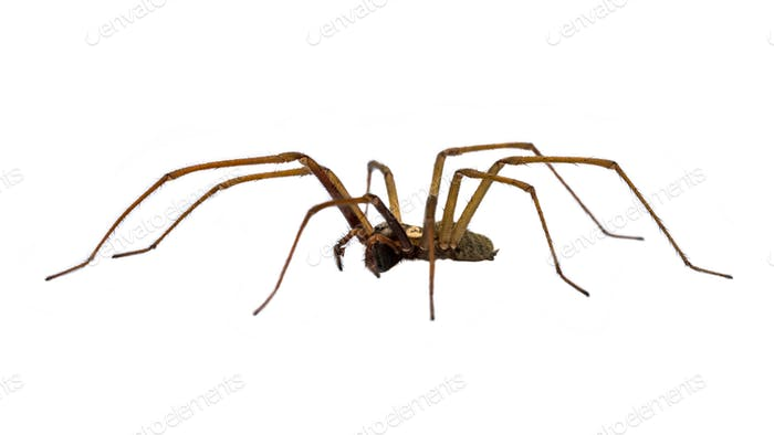 Giant house spider sideview isolated on white background