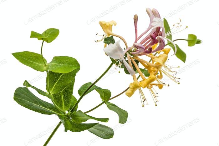 Blumen von Geißblatt, lat. Lonicera caprifolium, isoliert auf w