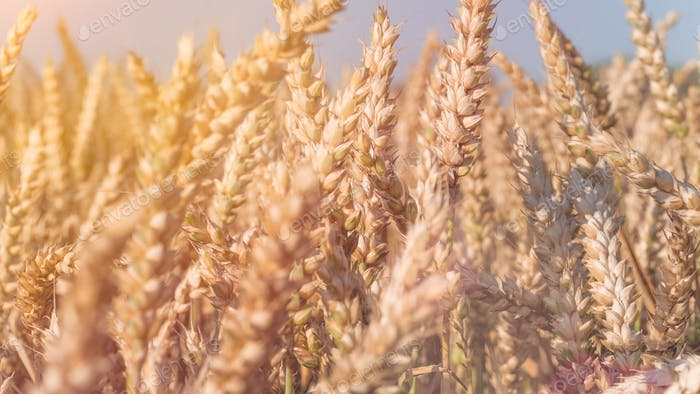 Close up of dry ripe golden wheat spikes in sun flares