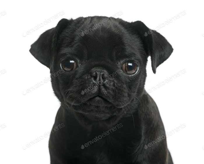 Close-up of a Pug puppy in front of a white background