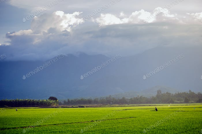 rice meadow in vietnam
