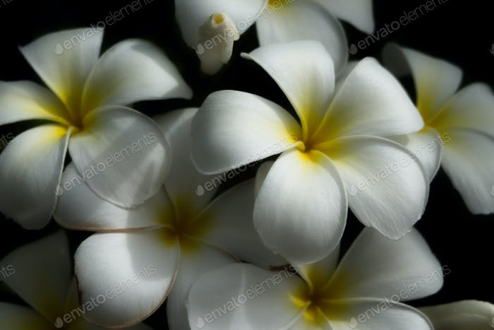White plumeria flower on black background