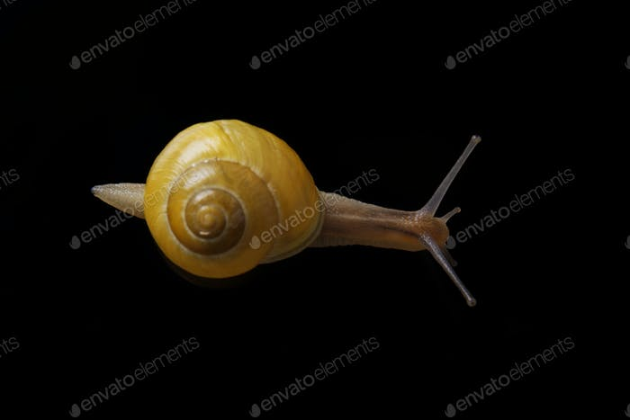Yellow snail posing on black background