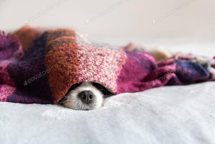 Cavalier spaniel sleeping under the blanket