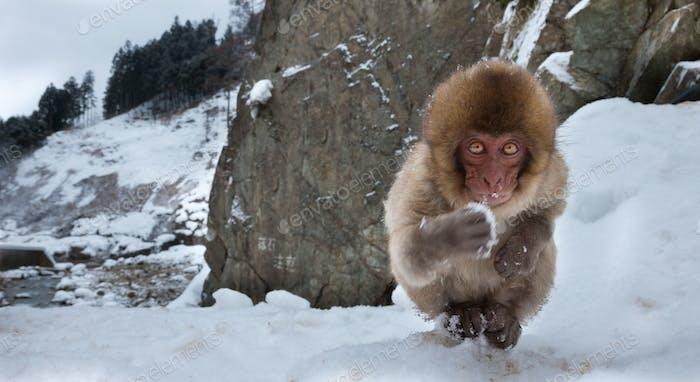 Japanische Macaque, Honshu Island, Japan