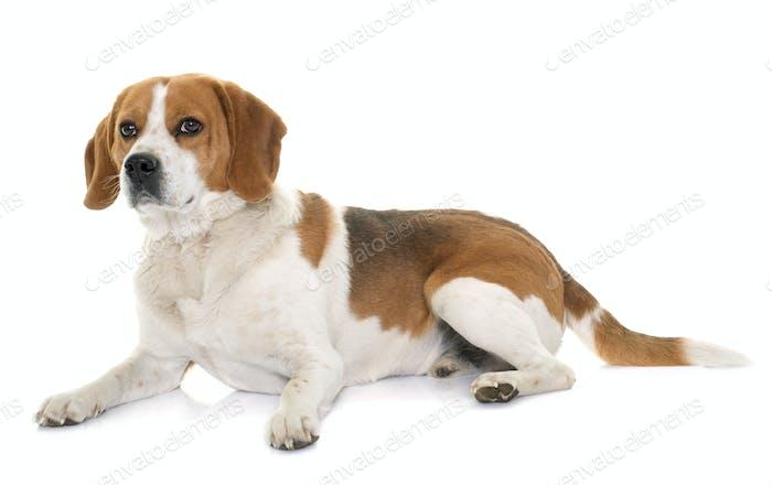 Beagle im Studio