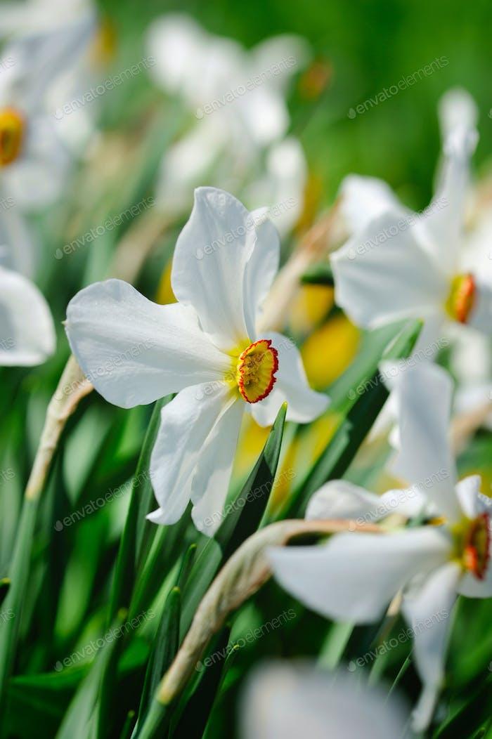 Narcissus poeticus, Narcissus flowers