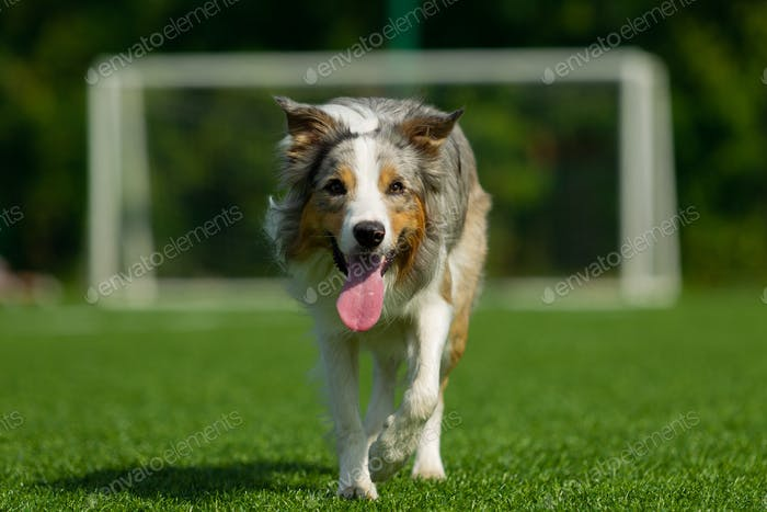 Border Collie breed dog for a walk on a summer sunny day