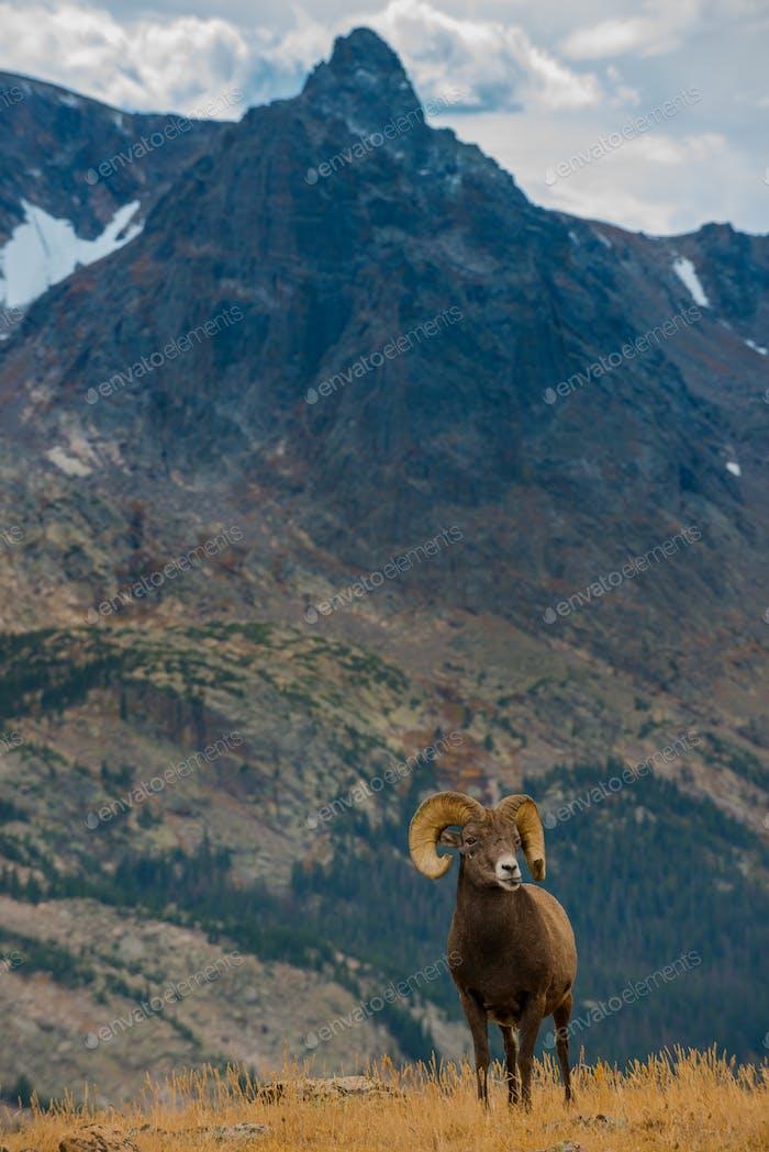Wild Bighorn Schaf Ovis canadensis Rocky Mountain Colorado