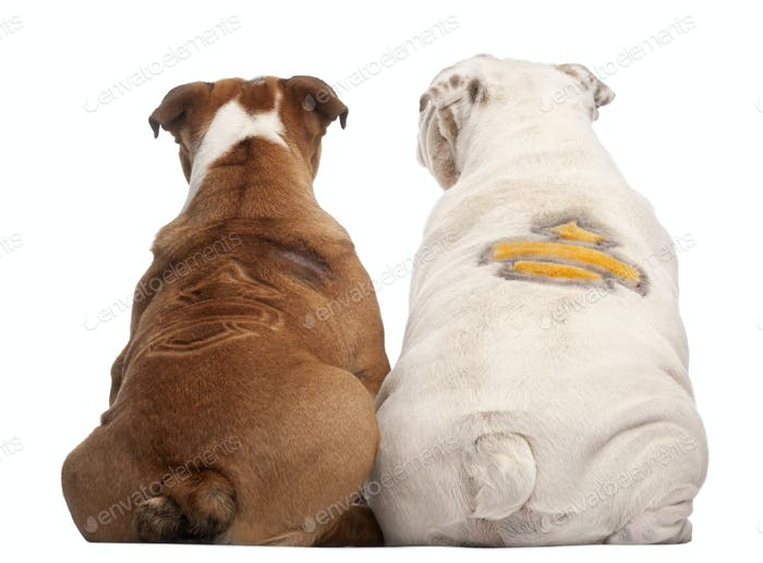 Rear view of English Bulldogs
