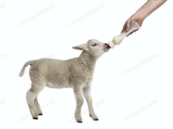 Lamm säugt einen Bibber (8 Wochen alt) isoliert auf weiß