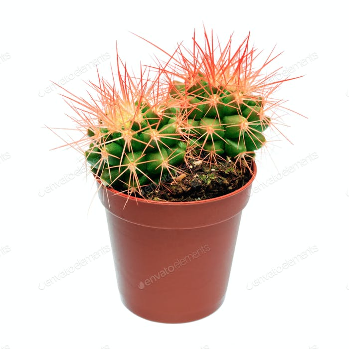 Orange cactus in flowerpot