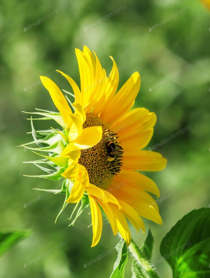 Schöne Sommersonnenblumen, zottige Hummel