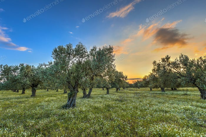 Olive grove at sunrise
