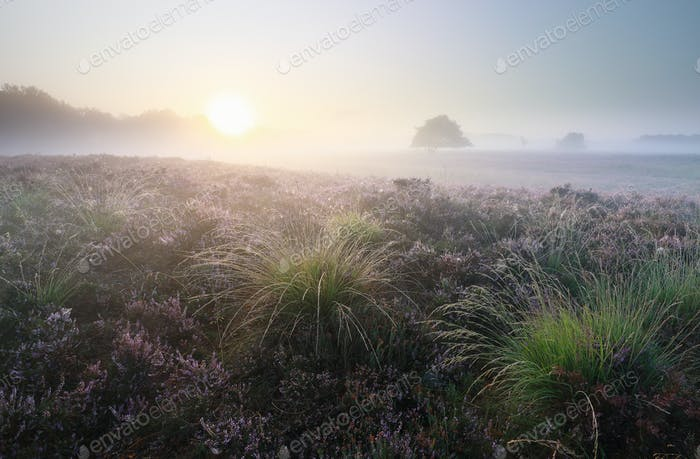 beautiful misty sunrise over blossoming heather
