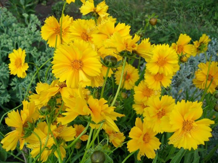 schöne gelbe Blüten