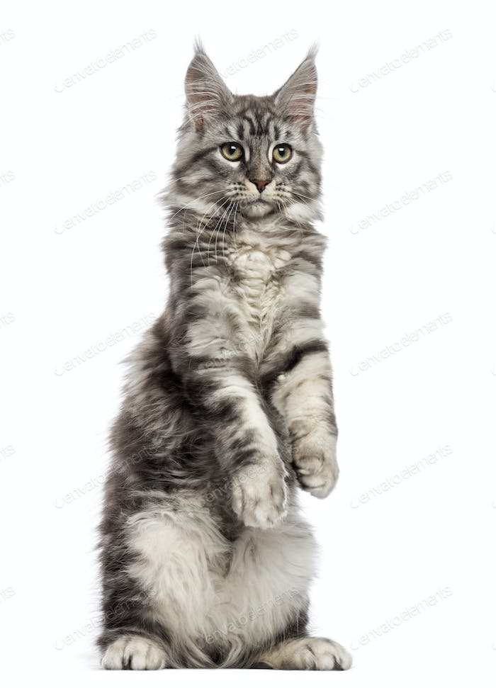 Maine Coon (2 years old) standing on its hind legs