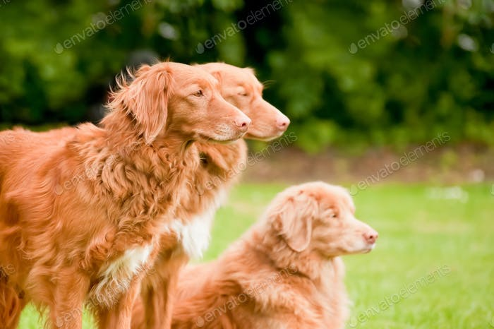 duck tolling retrievers