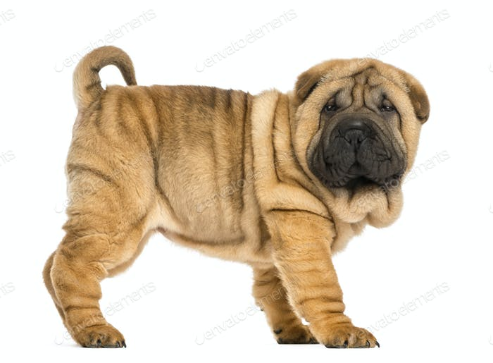 Side view of Shar pei puppy (11 weeks old) isolated on white