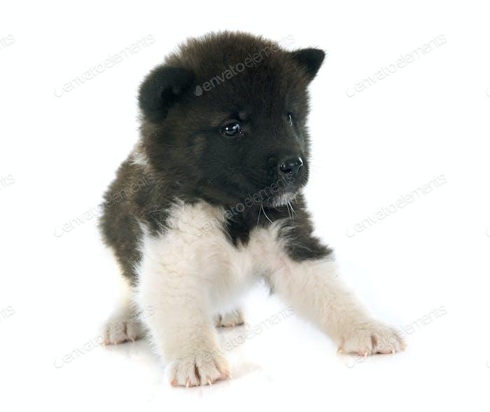 American Akita Puppy Photo By Cynoclub