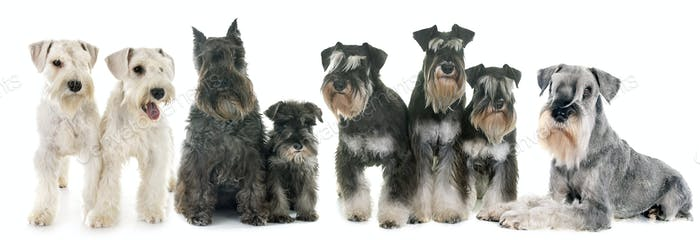 group of Schnauzers