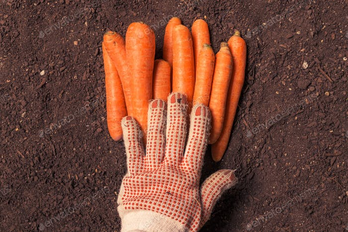 Farmer holding harvested carrot, close up of hand