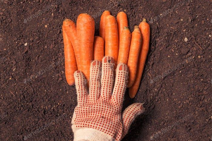 Landwirt geerntete Karotte, aus der Hand