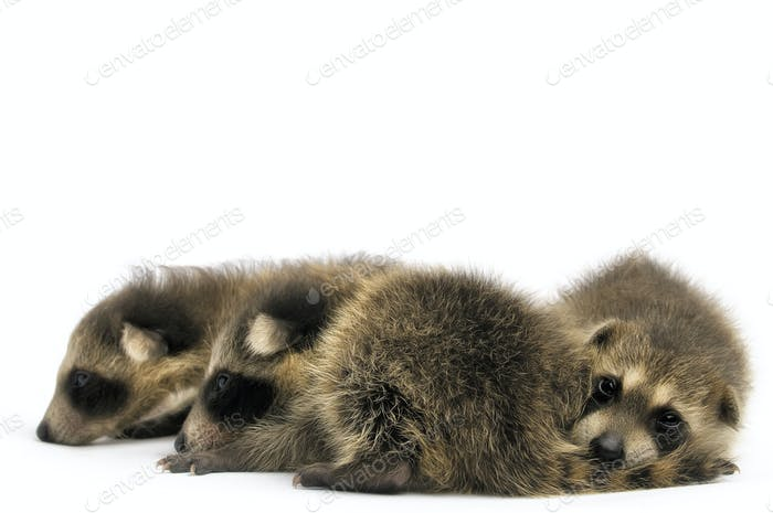 Trio of Young Raccoons