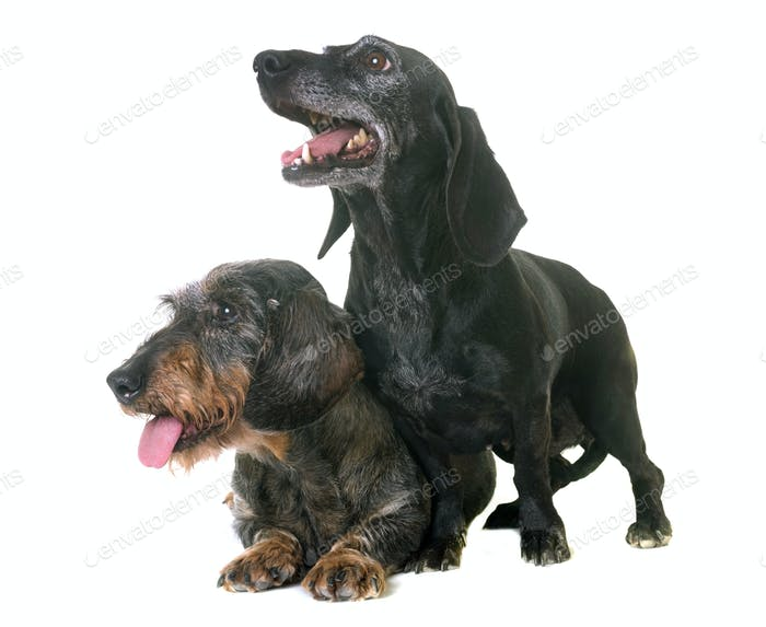 two dachshunds in studio