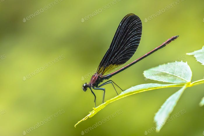 Copper demoiselle male dragonfly