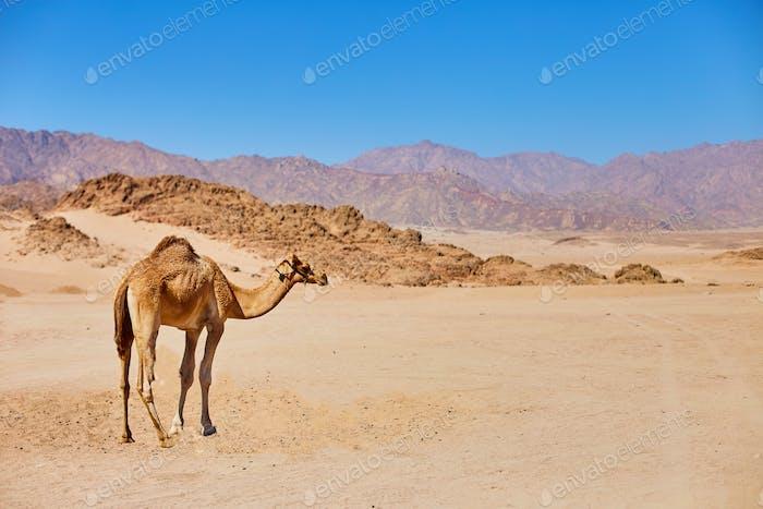 Ein Kamelaufenthalt auf einem Wüstenland mit blauem Himmel auf dem Hintergrund.