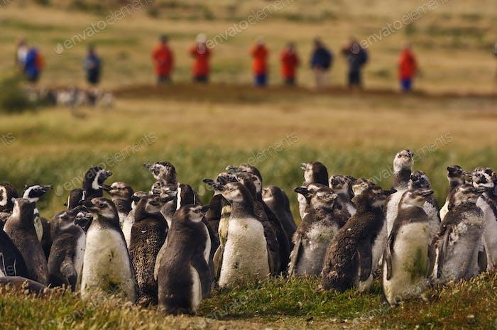 Una fiesta turística guiada observando pingüinos magallánicos juveniles, Spheniscus magellanicus