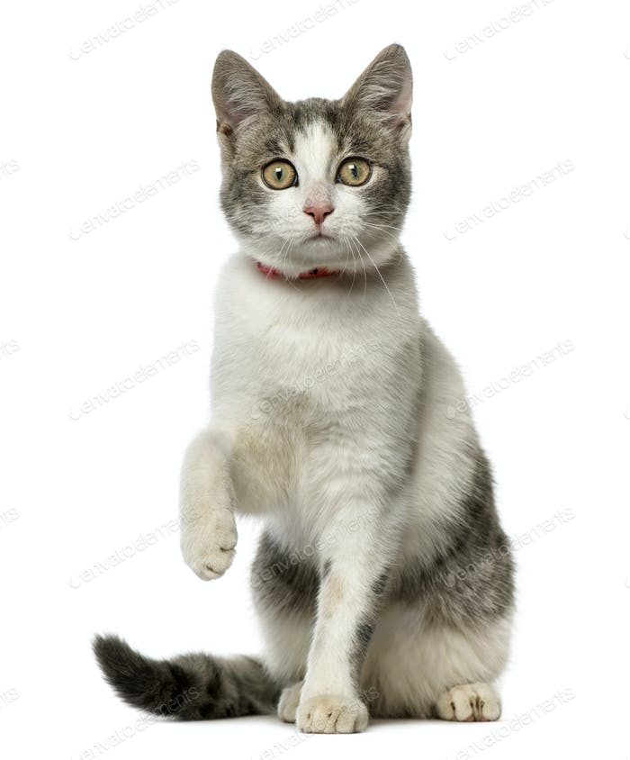 European Shorthair sitting and looking at the camera, isolated on white