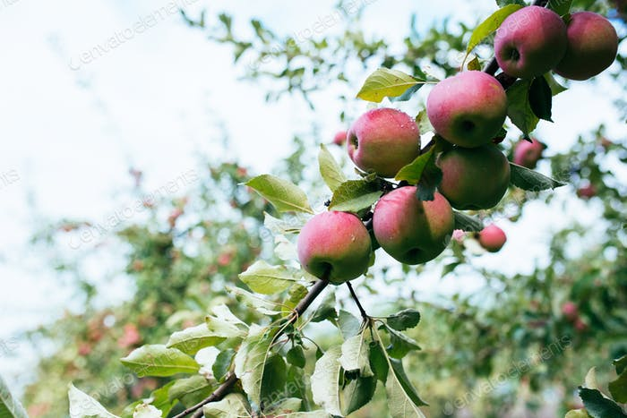Reife rote Äpfel auf Ast