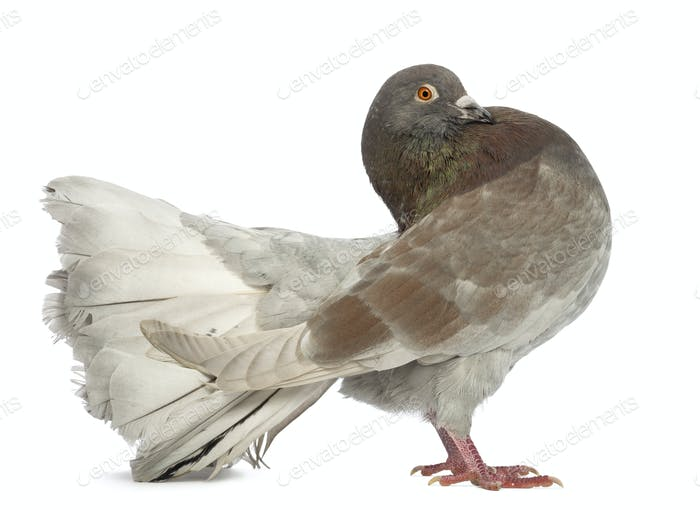 Side view of a Pigeon standing in front of white background