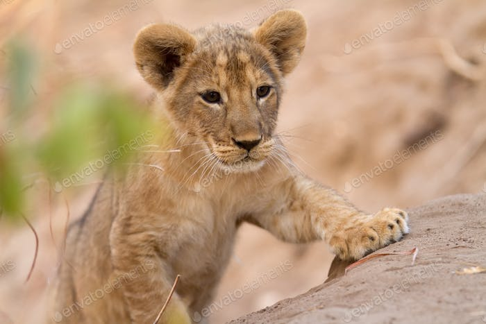 Lion found in the tanzanian national parks286