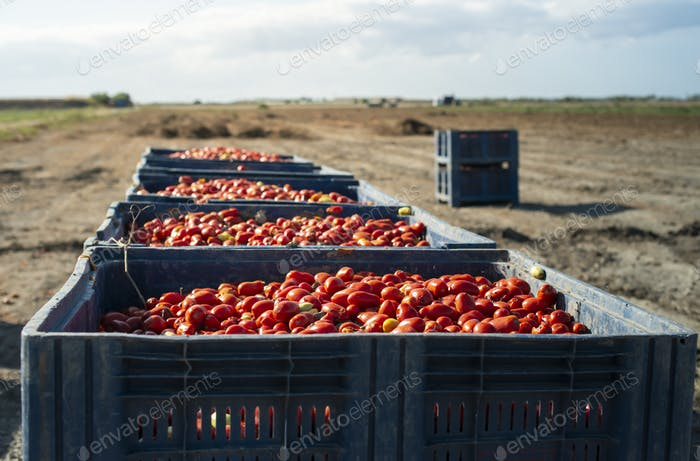 Big crates with tomatoes.