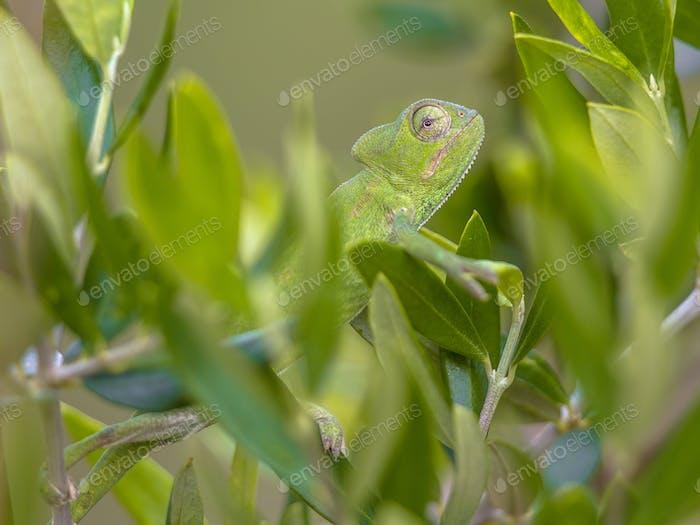 African chameleon in natural tree habitat