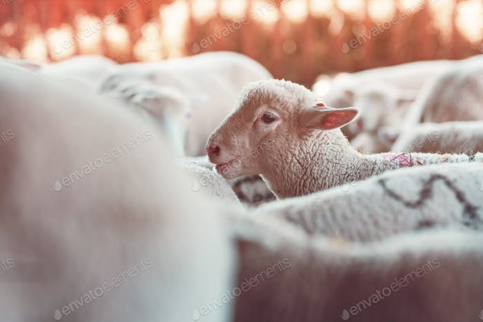 Lamb in sheep pen on dairy farm