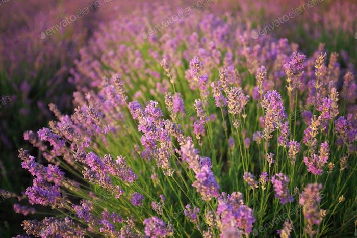 Lavendel Busch.