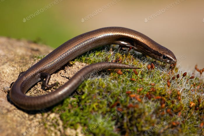 European copper skink, ablepharus kitaibelii, on a green moss in nature