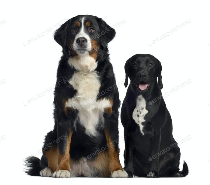 Bernese Mountain Dog and crossbreed between labrador and beagle
