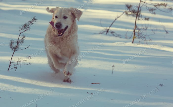 Retriever im Winterwald