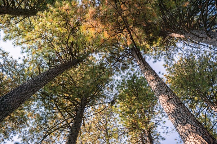 Looking up in a Ponderosa Pine forest on an autumn day, Calaveras Big Trees State Park, California